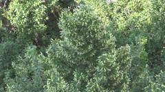 Stock Video Footage of Healthy herbal plants, linden tree in summer, blooming medicine importance tree