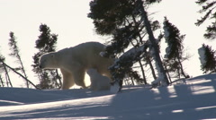 Polar bear (ursus maritimus) with cub Stock Footage