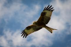 Red kite in flight Stock Photos