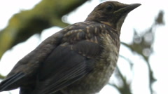 Young Blackbird Heavy Breathing While Looking Out 9 of 9 - stock footage