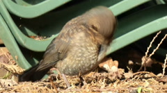 Young Blackbird Preens Itself 1 of 9 Stock Footage