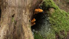 Fungus Grown on Trunk Stock Footage
