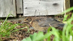 Young Blackbird Finds Worm in Undergrowth 5 of 9 Stock Footage