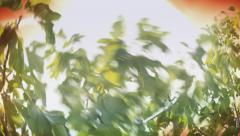Sun exploding behind a fig tree - stock footage