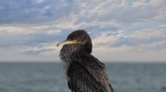 Great black cormorant, Genus: Phalacrocorax, HD Stock Footage