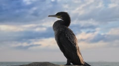 Great black cormorant, Genus: Phalacrocorax, HD Stock Footage