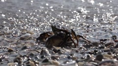 Crab sitting on rock on shore of Black Sea Stock Footage