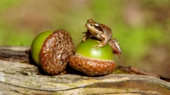 Edible Frog on acorn - stock footage