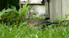 Young Blackbird hops along grass and looks out 6 of 9 Stock Footage