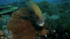 Harlequin sweetlips fish closeup to camera over coral reef Stock Footage