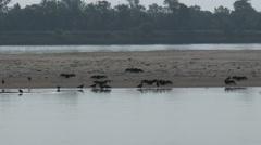 Turkey Vultures and Wildlife on Missouri River Sandbar Stock Footage