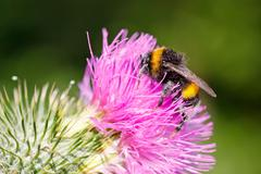 Bumble bee on pink flower Stock Photos