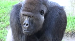 4k Silverback Gorilla frontal very closeup looking sad and bored Stock Footage