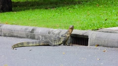 Clouded monitor lizard near gutter, Lumphini park, Bangkok Stock Footage