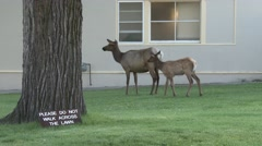 Elk by Do Not Walk on Grass Sign at Yellowstone National Park Stock Footage