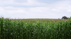 Corn Field WS Stock Footage
