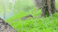 Clouded monitor lizard eating fish, Lumphini park, Bangkok Stock Footage
