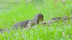 Clouded monitor eating fish, Lumphini park, Bangkok - stock footage
