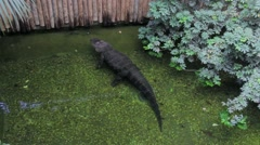 Submerged Alligator, in clear Water Stock Footage
