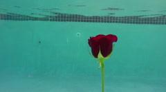 rose under water in pool - stock footage