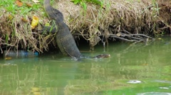Clouded monitor lizard dives into water, Lumphini park, Bangkok Stock Footage