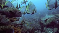 Harlequin sweetlips, oriental sweetlips and shaded batfish on coral reef Stock Footage