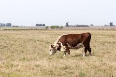 lonely cow grazing - stock photo
