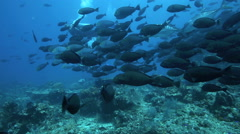 Scuba diver filming amongst large school of surgeonfish Stock Footage