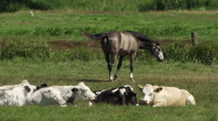 Horse and Cows slowmotion 1 Stock Footage