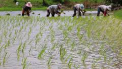 Rice sprouts in farm and farmers planting Stock Footage