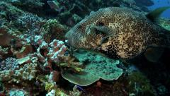 Mappa pufferfish eating coral on reef Stock Footage