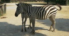 A baby zebra at breast-feeding Stock Footage