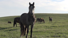 Mare on a Background of the Herd - stock footage