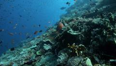 Healthy coral reef and shoals of reef fish - stock footage
