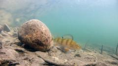 European perch in the river Stock Footage