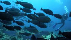 Scuba divers amongst large school of surgeonfish in Komodo National Park, Indone Stock Footage