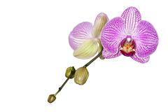 Stock Photo of phalaenopsis orchid on stem with unopened buds