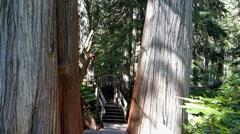 Giant Cedar Trees Bottom to Top Stock Footage