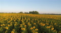 Yellow sunflowers in  sunlight.  Aerial landscape rear fly HD Footage