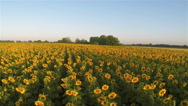 Stock Video Footage of Yellow sunflowers in  sunlight.  Aerial landscape rear fly