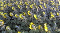 Yellow sunflowers  Aerial  top view Footage