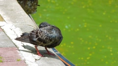 Pigeon grooming itself, Lumphini park, Bangkok - stock footage