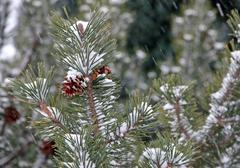 Pine green during the snowstorm Stock Photos
