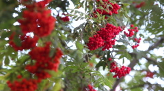 Rowanberries close up Stock Footage