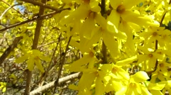 Yellow flowers of the bush (yellow forsythia bush) Stock Footage