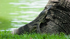 Clouded monitor lizard at base of tree Lumphini park, Bangkok Stock Footage