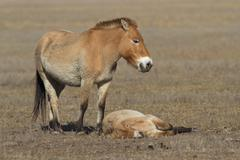 Mare and foal przewalski's horse in the autumn steppe Stock Photos