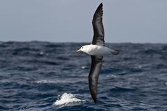 black-browed albatross flying over the waves of the atlantic - stock photo