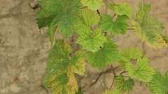 Grape leaves in the wind Stock Footage