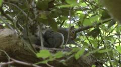 Grey Squirrels Grooming Stock Footage